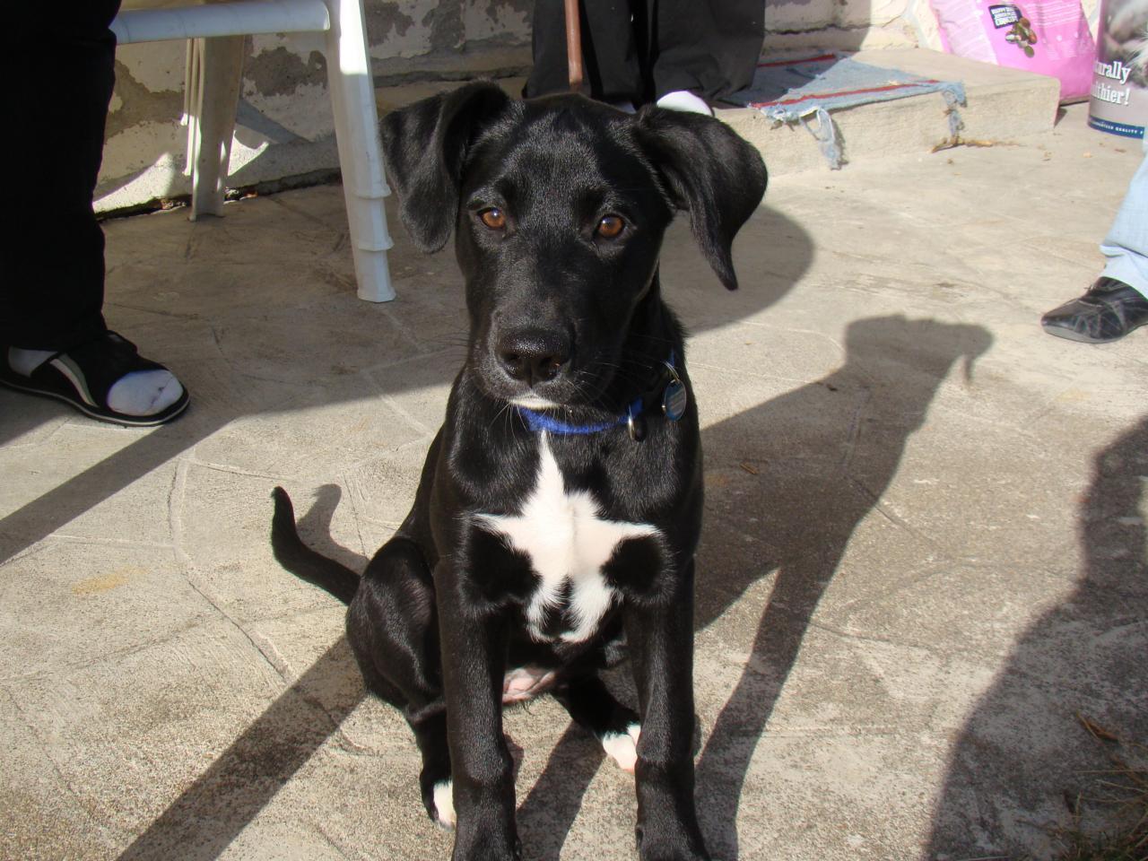 Fidjy Labrador Noir